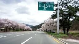 경주 벚꽃길의 모습