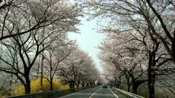 달리는 차안에서 바라본 벚꽃풍경