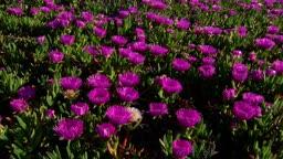 보라색 꽃 지는과정