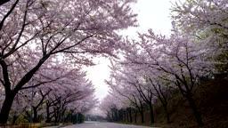 부산 황령산로 벚꽃길