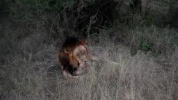 남아프리카 공화국 사파리의 사자 모습