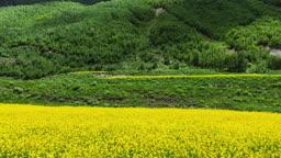 유채꽃밭과 산