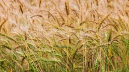 중국 허베이성 밀밭