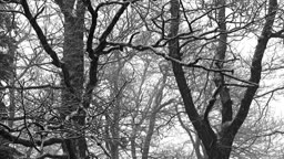 Oak in winter (1)