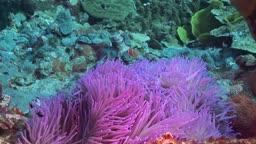 Anemonen und Fische im Meer