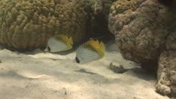 Masked Butterfly Fische und Korallen