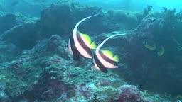Korallen und Wimpelfische, Heniochus acuminatus, im Meer