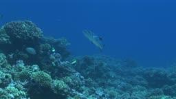 Korallen und Barrakudas, Sphyraena genie, im Meer