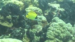 Langmaul-Pinzettfische, long- nosed butterflyfishe am Korallenriff