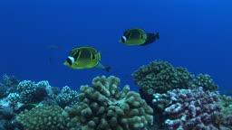 Mondsichel Falterfische, Chaetodon lunula, Racoon butterflyfishe, schwimmen im Meer