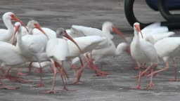 A group of white ibises race to catch pieces of bread being thrown to them