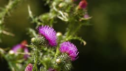 Butterfly pollinating thistle cirsium wildflower