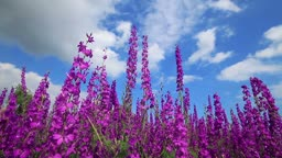 Field Of Pink Flowers And Blue Sky. Nature Background