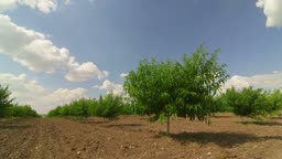 Rows of fruit trees in peach orchard