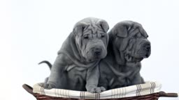Shar Pei dogs looking at camera with a white background.Two blue grey Sharpei puppies in a basket.