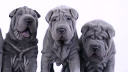 Shar Pei dogs looking at camera with a white background.Four blue grey Sharpei puppies.