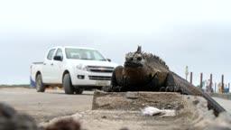 갈라파고스 제도 길거리 바다이구아나와 자동차