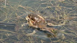 강 하류 짝짓기 경쟁을 하는 수컷 두꺼비들