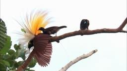 파푸아뉴기니섬 수컷 큰 극락조 두고 경쟁하는 암컷 세 마리