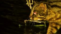 강원도 사냥감에게 다가가는 삵