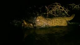 강원도 사냥감을 사냥하는 삵