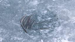 강원도 홍천군 겨울 저수지 빙어들