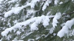 경기도 동두천 소나무에 쌓이는 눈 내리는 겨울 풍경
