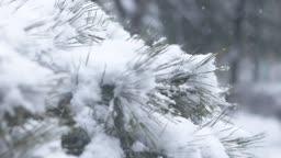 경기도 동두천 함박눈과 눈이 쌓인 소나무 겨울 풍경