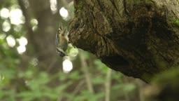충북 원주 소태면 날아가는 동고비