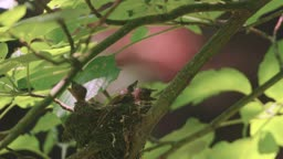 강원도 속초 둥지 속 새끼 먹이주는 삼광조