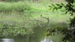 충북 충주 엄정면 개천 위 물총새