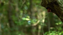 충북 원주 소태면 먹이 물고 둥지에서 나오는 호반새