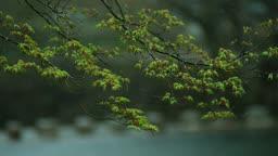 전남 순천 송광사 단풍나무 새싹과 비 오는 풍경