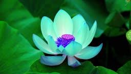 충남 연꽃 색깔 변하는 모습