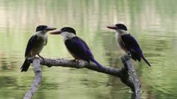 충북 충주 엄정면 깃털 다듬는 청호반새 세 마리