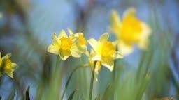 정원에 활짝 핀 수선화꽃