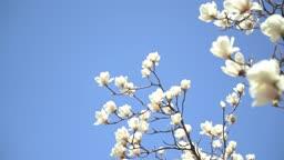 봄에 만개한 목련꽃
