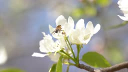 봄에 개화한 배나무 꽃에 앉은 꿀벌