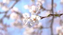 봄에 만개한 벚꽃