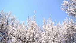 봄에 개화한 살구꽃