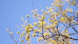 봄에 핀 산수유와 맑은 하늘 풍경