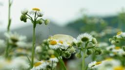 강원도 철원군 개망초 위 배추흰나비 모습