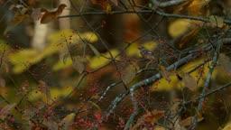전남 순천시 팥배나무 위 딱새 먹이 활동 모습