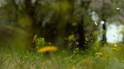 경기도 고양시 일산 흩날리는 벚꽃잎 모습