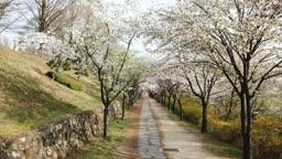 강원도 원주시 봄 벚나무 길 산책로 풍경