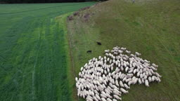 Birds eyes view of sheep being moved on farm using sheep dogs, Marlborough, New Zealand