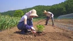 귀농귀촌 농사 모종 심고 있는 젊은여자와 밭갈이 하고 있는 청년 모습