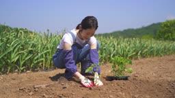 귀농귀촌 농사 모종 심고 있는 젊은여자 모습