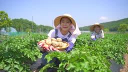 귀농귀촌 농사 바구니에 든 감자 보여주는 젊은여자 모습