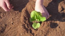 팜캉스 농촌 밭에서 모종 심고 있는 손 모습